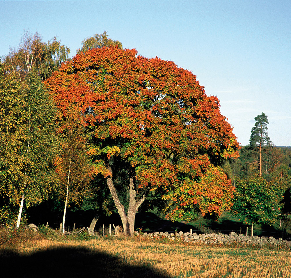 barrträd kallt klimat