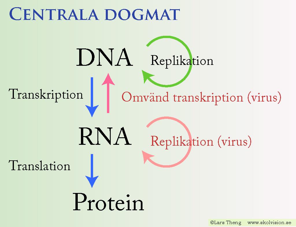 transkription och translation